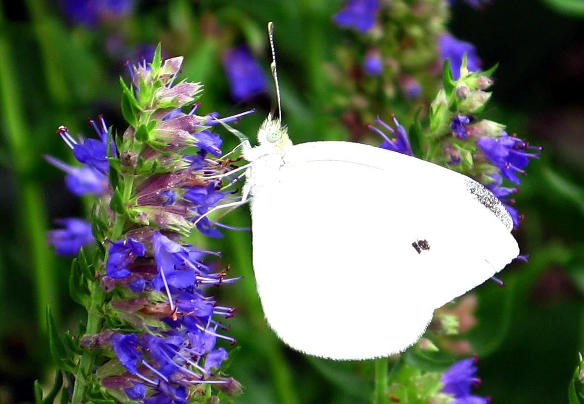 file white butterfly blue flowers west virginia forestwander