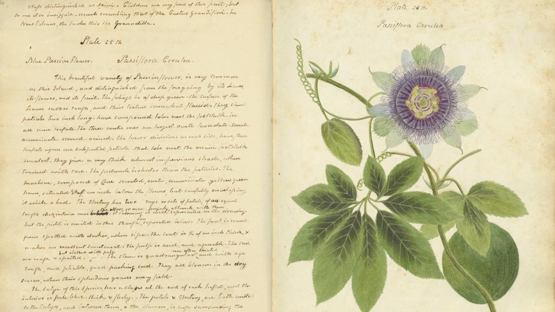 Nancy Anne Kingsbury Wollstonecraft. Blue Passion Flower. Passiflora Cerulea, ca. 1826. Vol. I, Pl. 25. | Bildquelle: upload.wikimedia.org © Public Domain | Bilder sind in der Regel urheberrechtlich geschützt