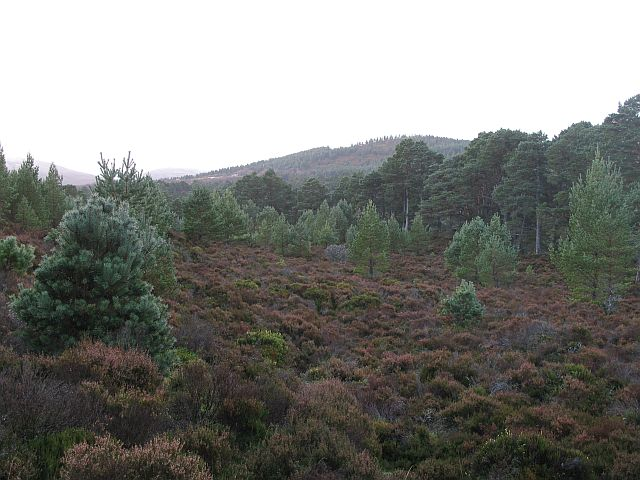 Abernethy Forest - geograph.org.uk - 612624