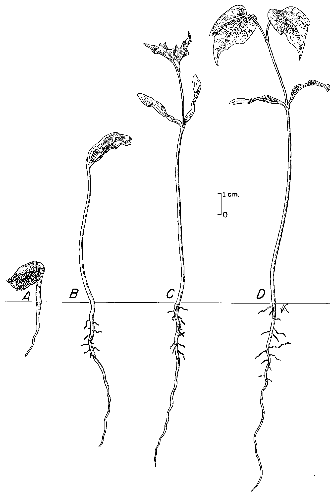 File:Acer seedling drawing.png - Wikipedia, the free encyclopedia
