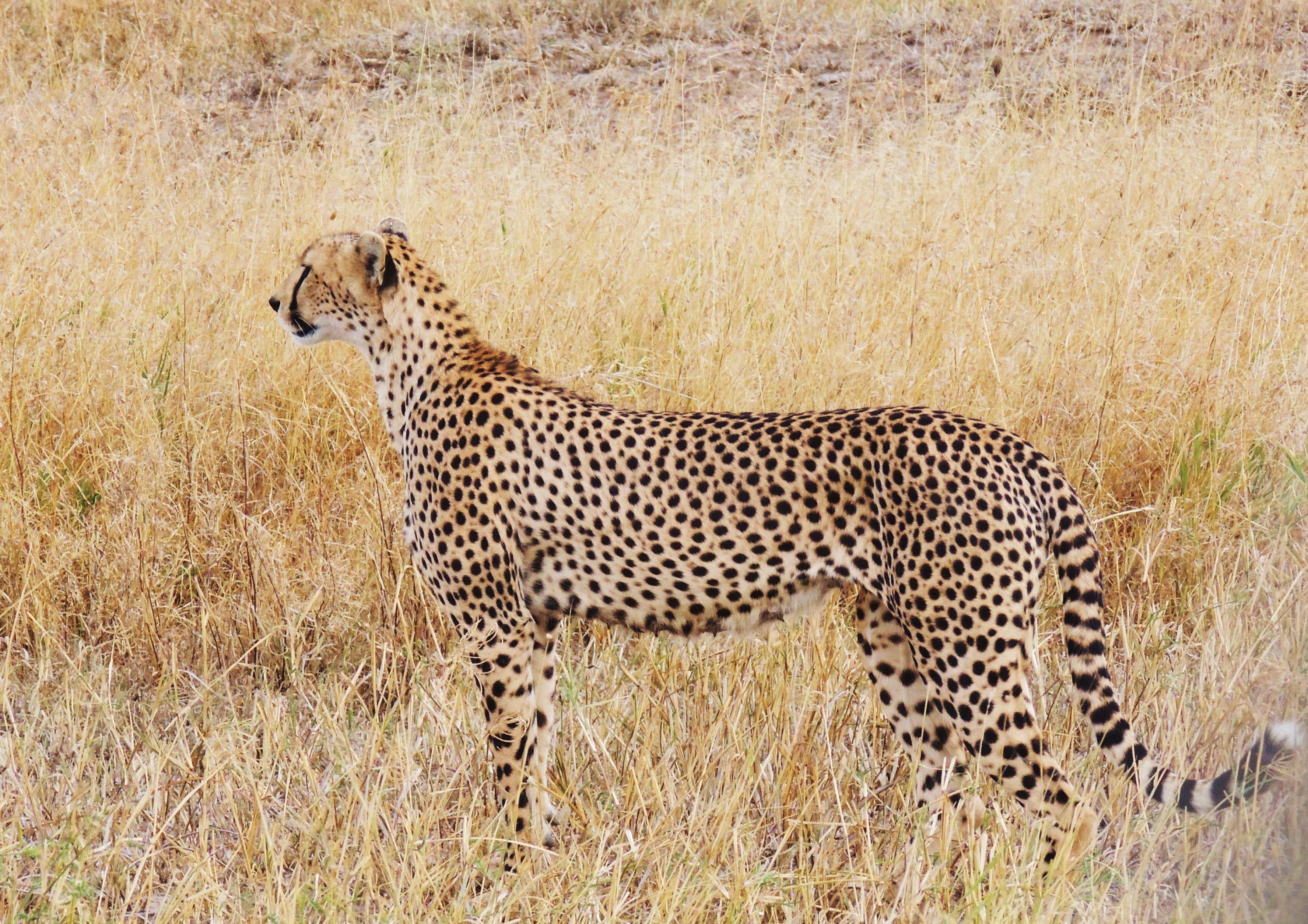 Hyena Cat Or Dog
