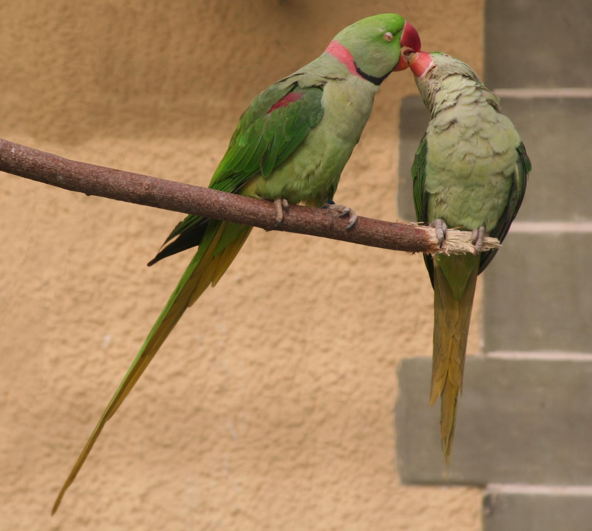 Papagei Alex