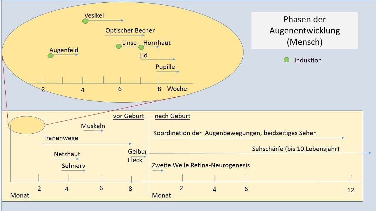 File:Auge -Phasen der Entwicklung30-09-2013.jpg - Wikimedia Commons