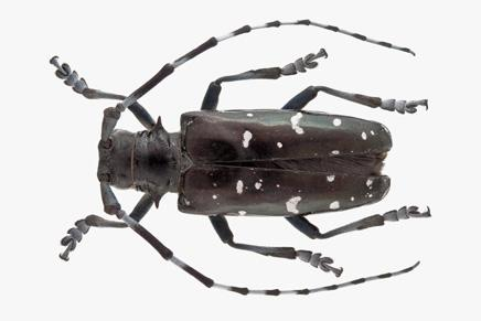 Asian longhorned beetle-asia