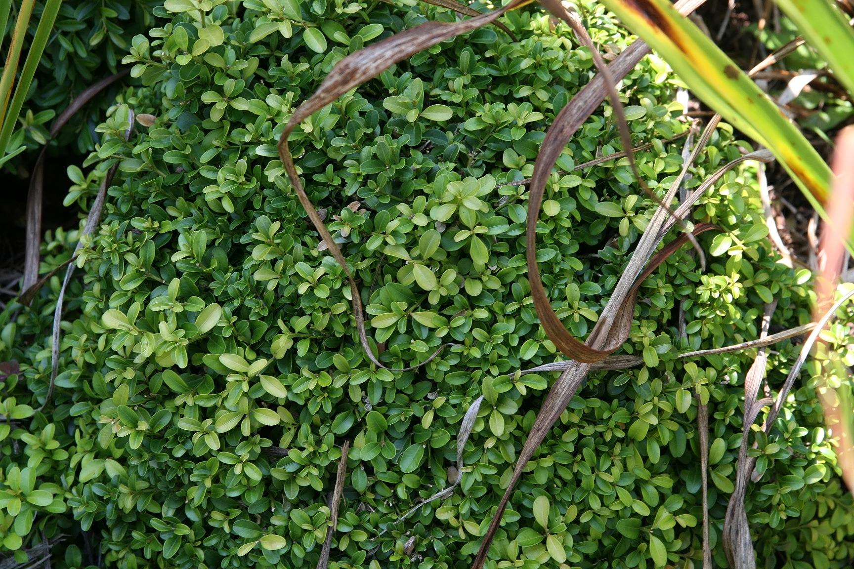 Buxus microphylla var japonica morris midget apologise
