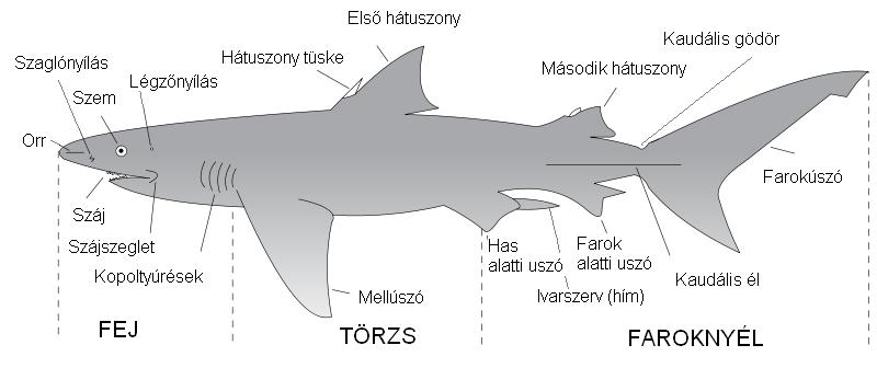 Whale Shark Anatomy Diagram Nemetasfgegabeltfo