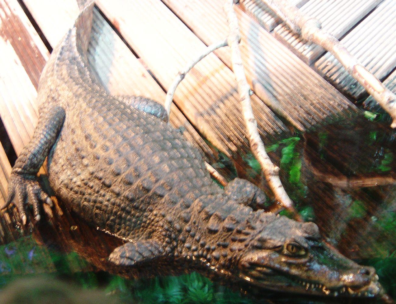photo caiman à lunettes