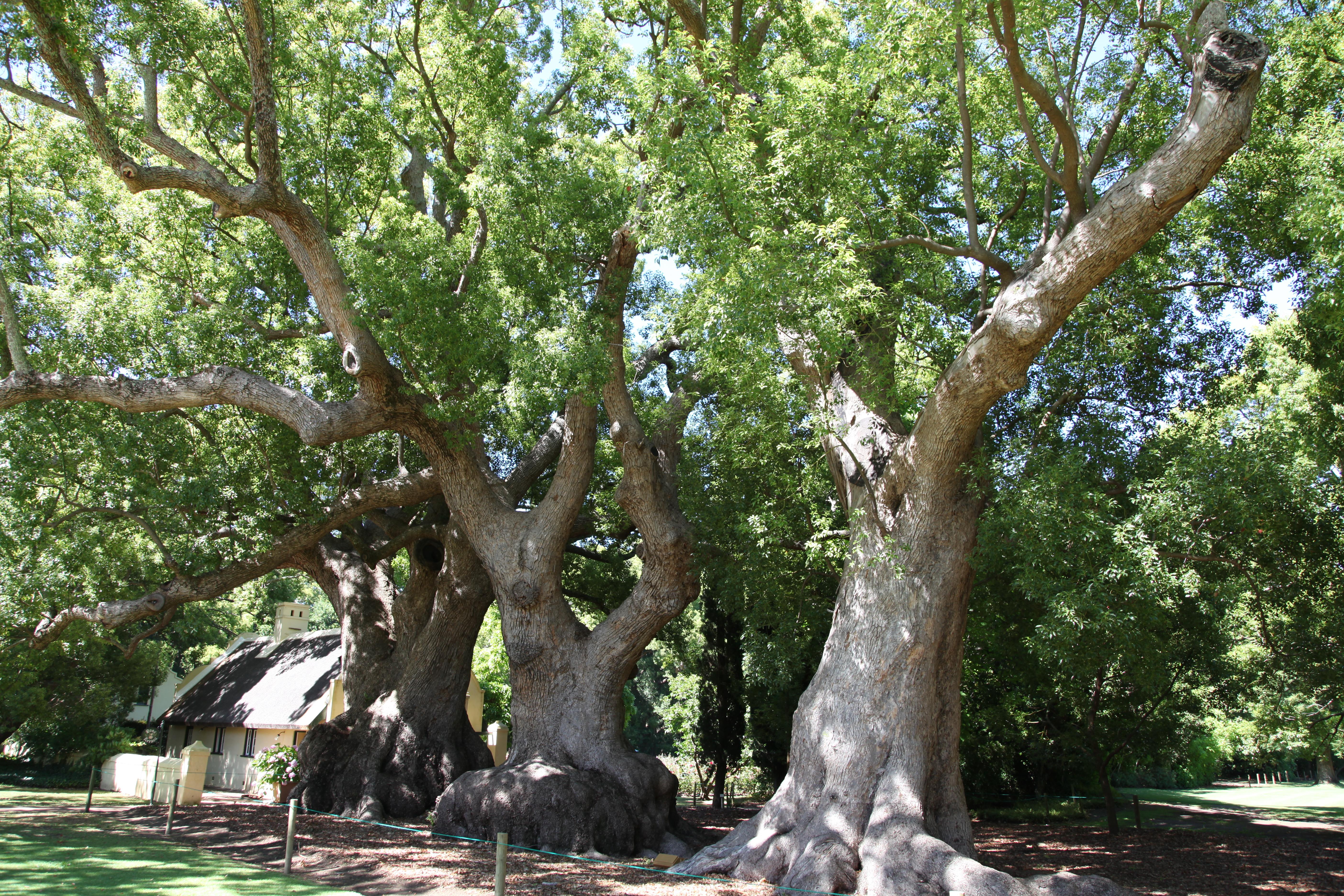 File:Camphor trees at Vergelegen JPG - Wikimedia Commons