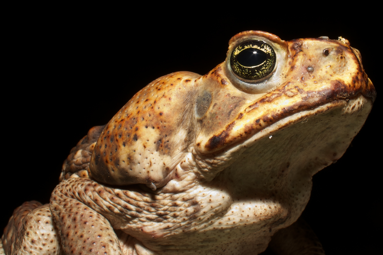 Cane Toad With Tick C Barro Colorado Island