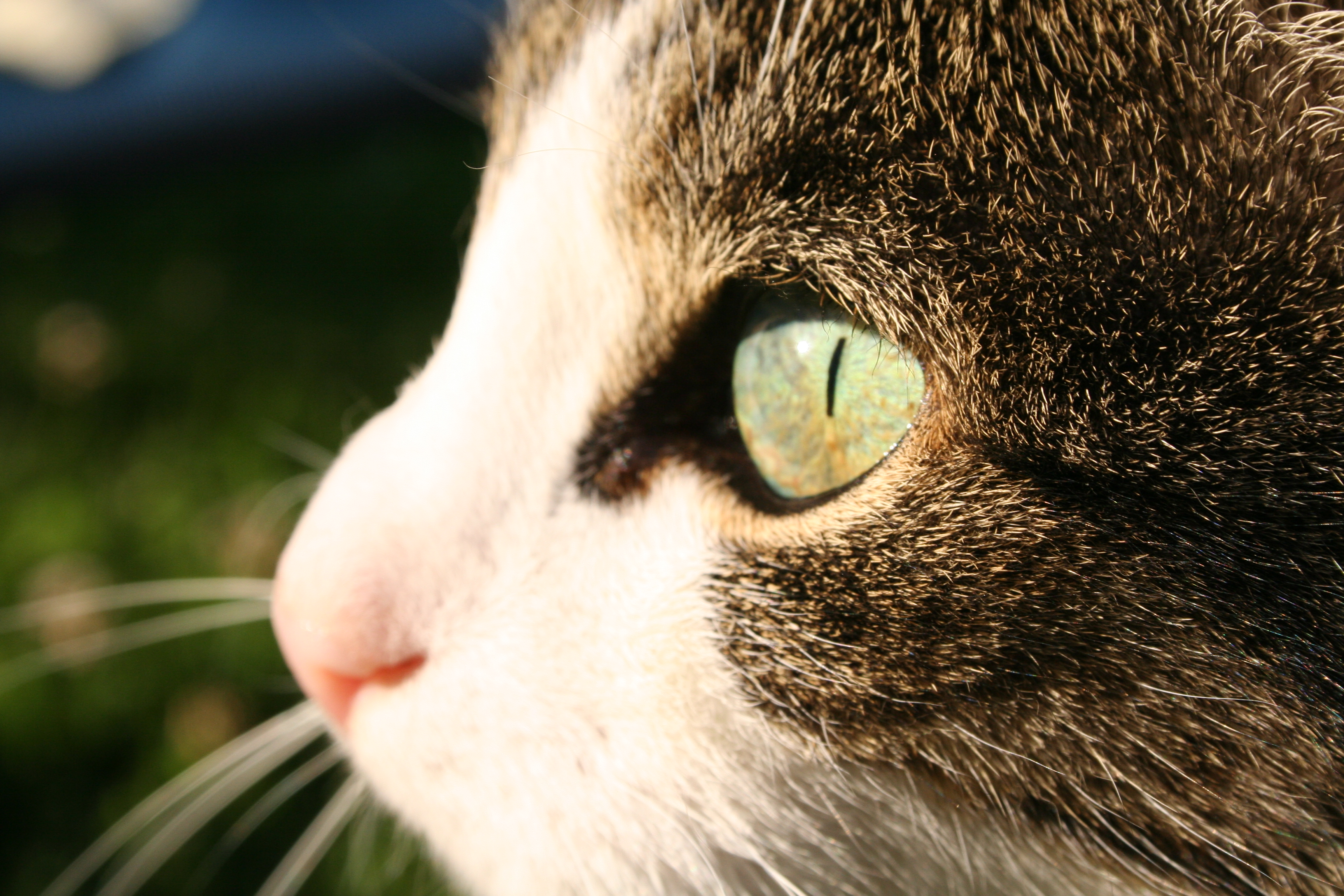 File:Cat-eye.jpg - Wikimedia Commons