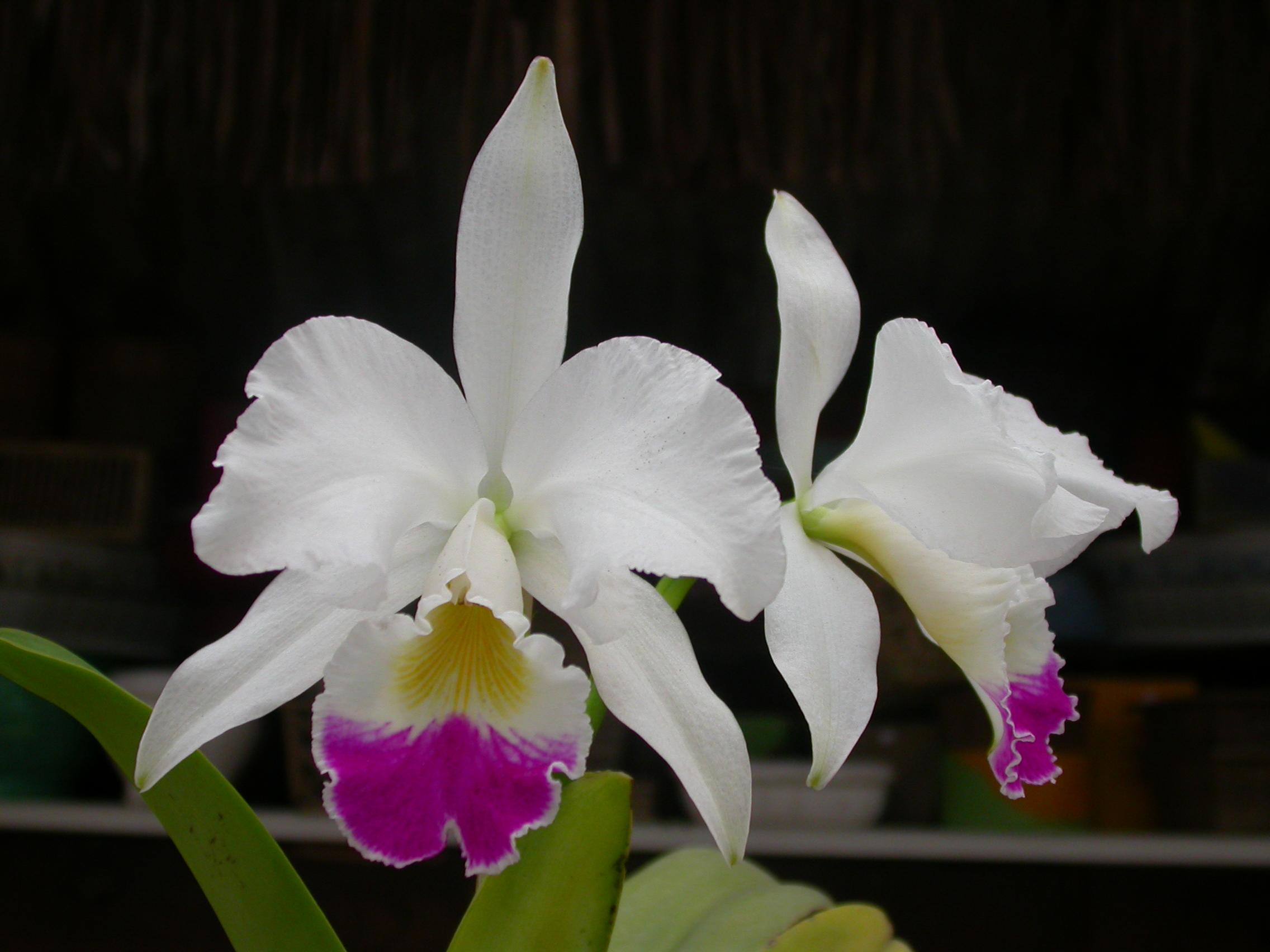 Hoa phong lan vi t vietnam orchids cattleya for Orchidea cattleya