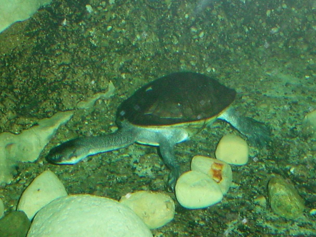 McCord Schlangenhalsschildkröte Chelodina mccordi