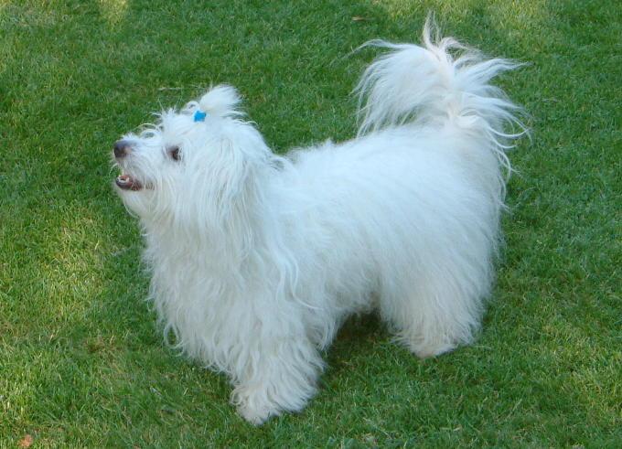 Pies dobry dla dzieci Coton de Tular