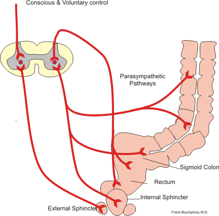 The Large Intestine | Boundless Anatomy and Physiology