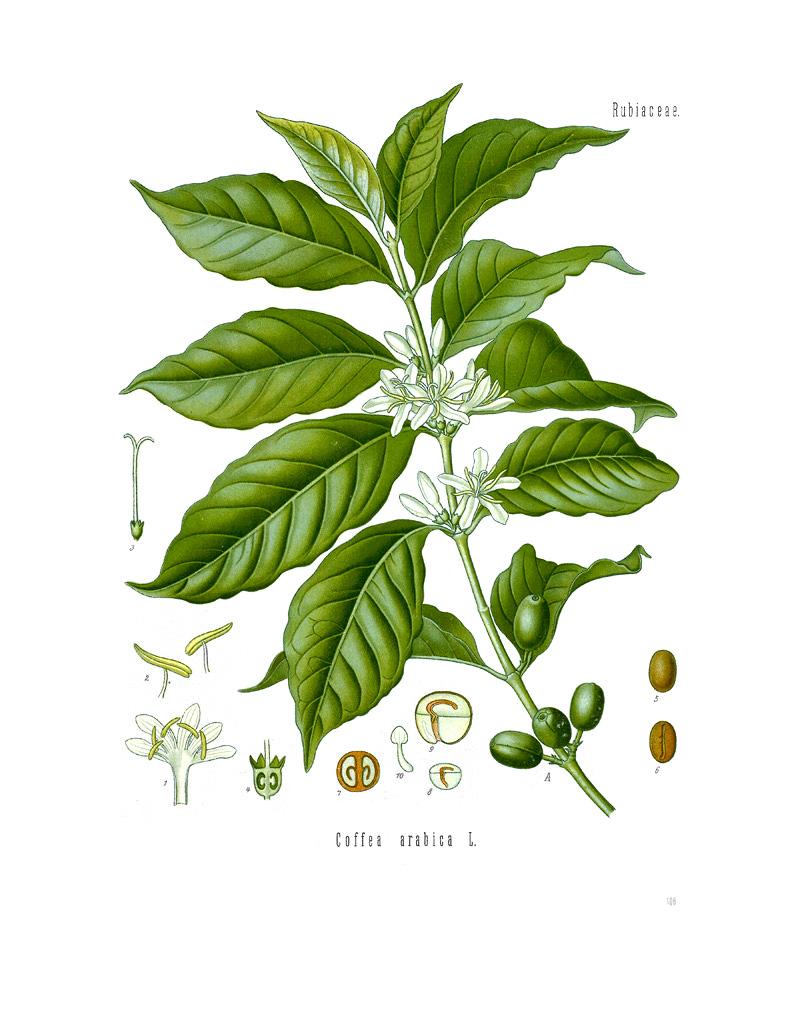 Coffea  Wikipedia  la enciclopedia libre