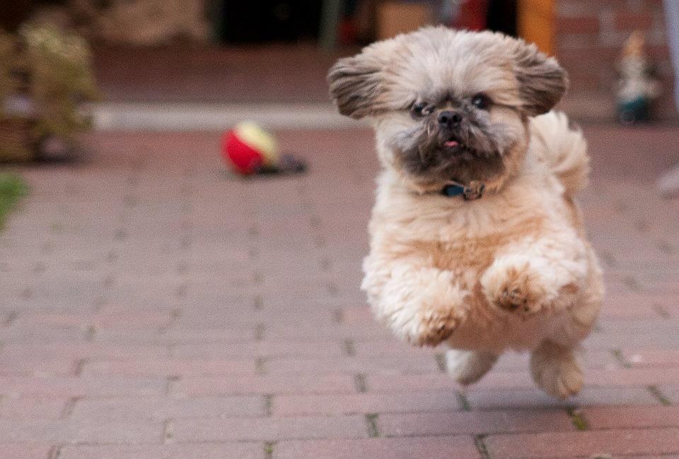 Shih Tzu   hondenrassen en eigenschappen