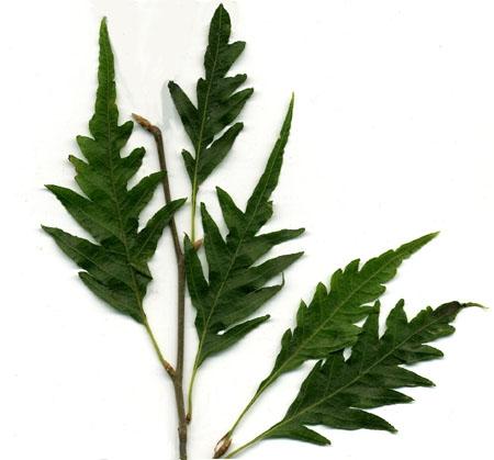 FagusAsplenifolia