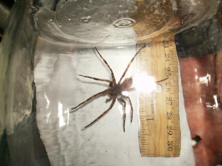 Fishing spider size - photo#14