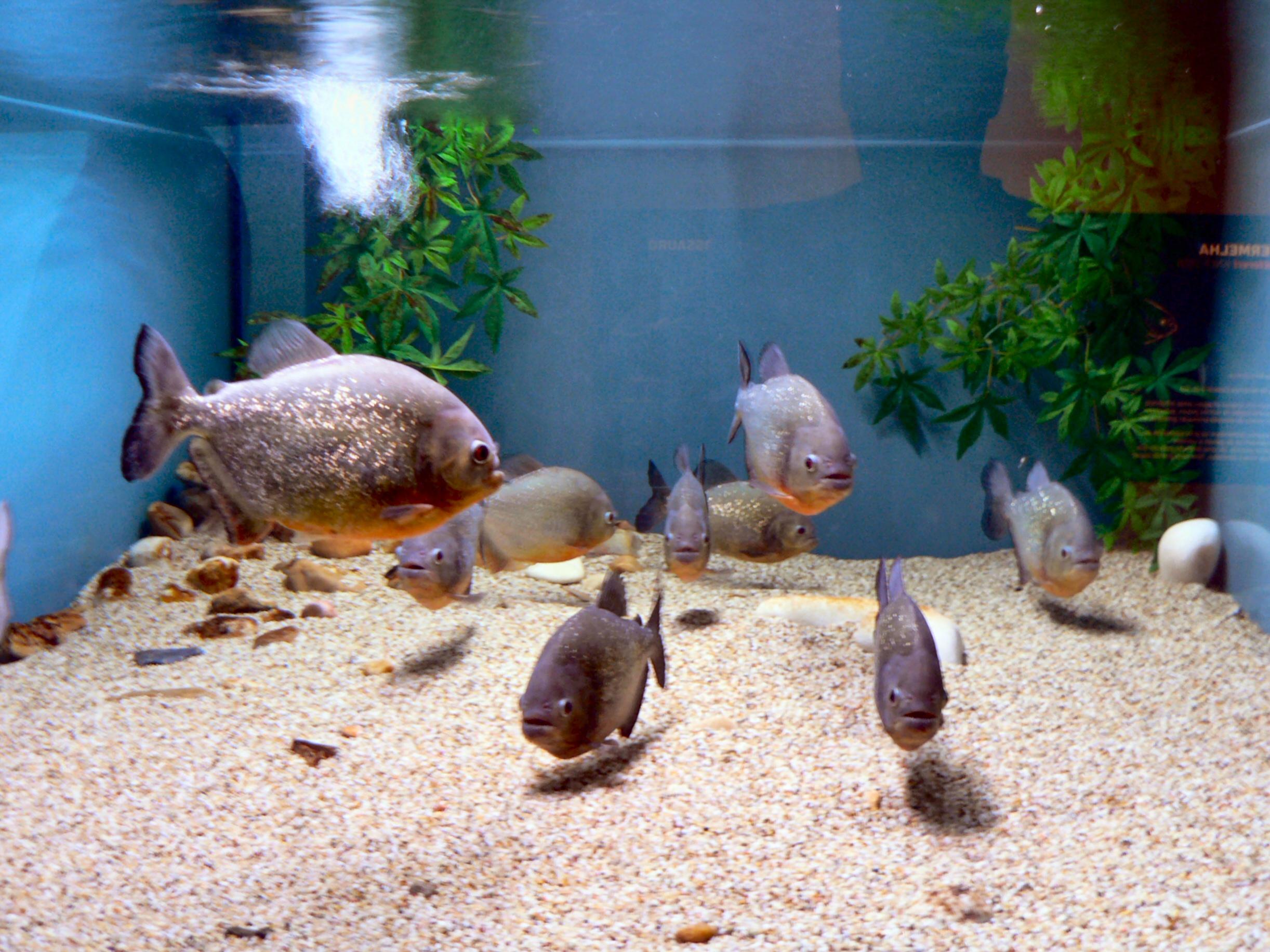 Аквариумные рыбки гурами содержание размножение виды