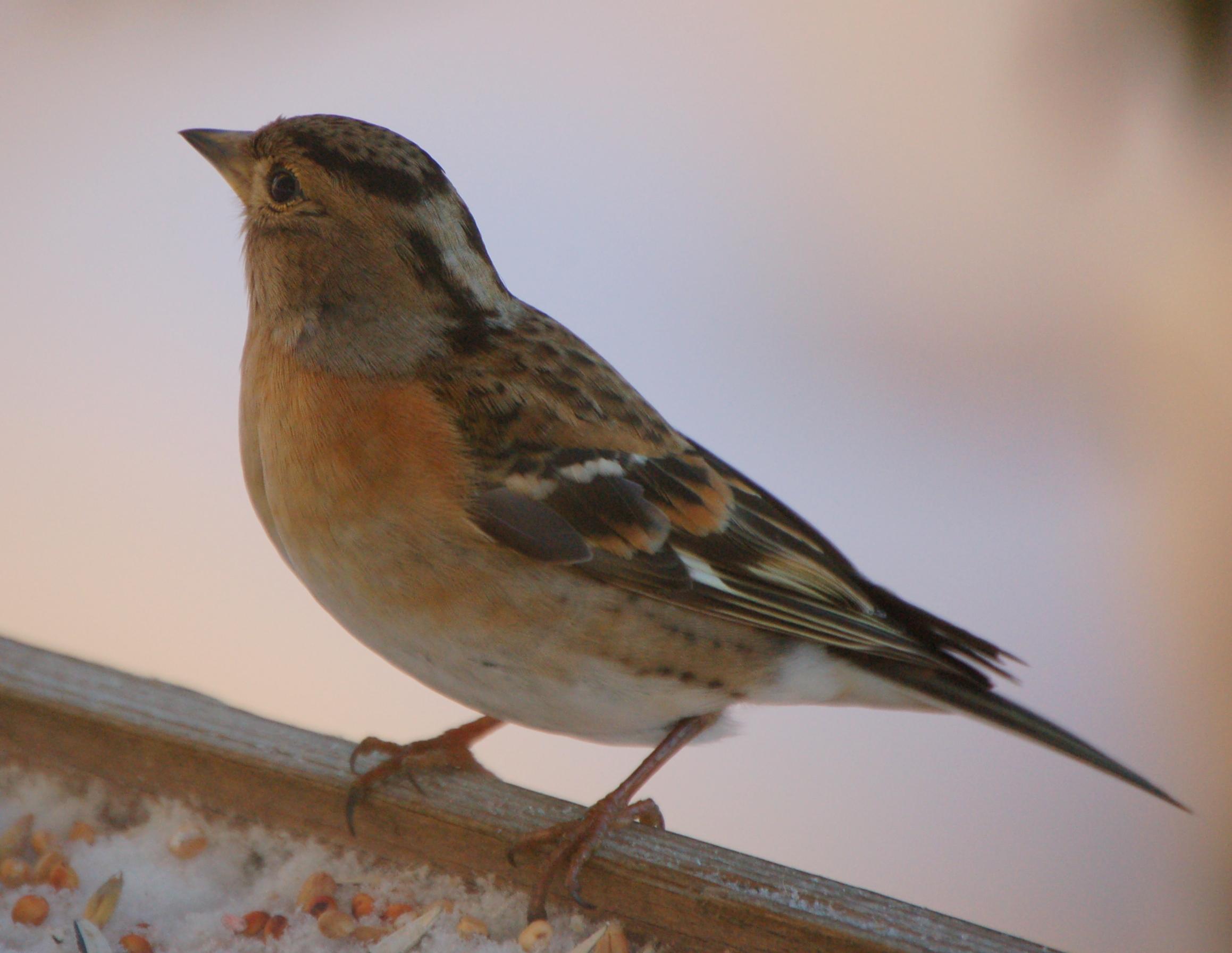 Fil fringilla montifringilla jpg wikipedia for Oiseau commun