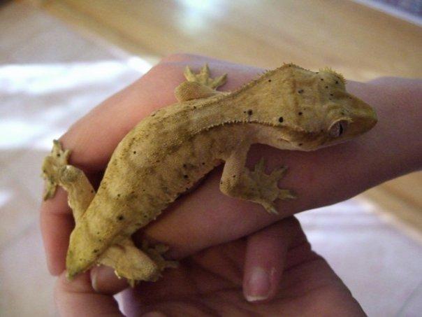 Image result for crested geckos
