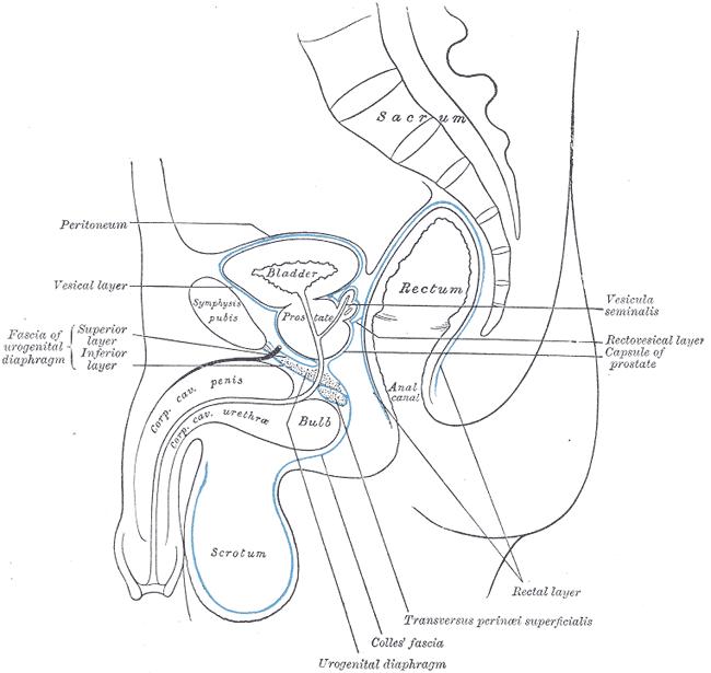 wiki  rectum