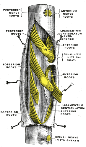 Thecal sac anatomy