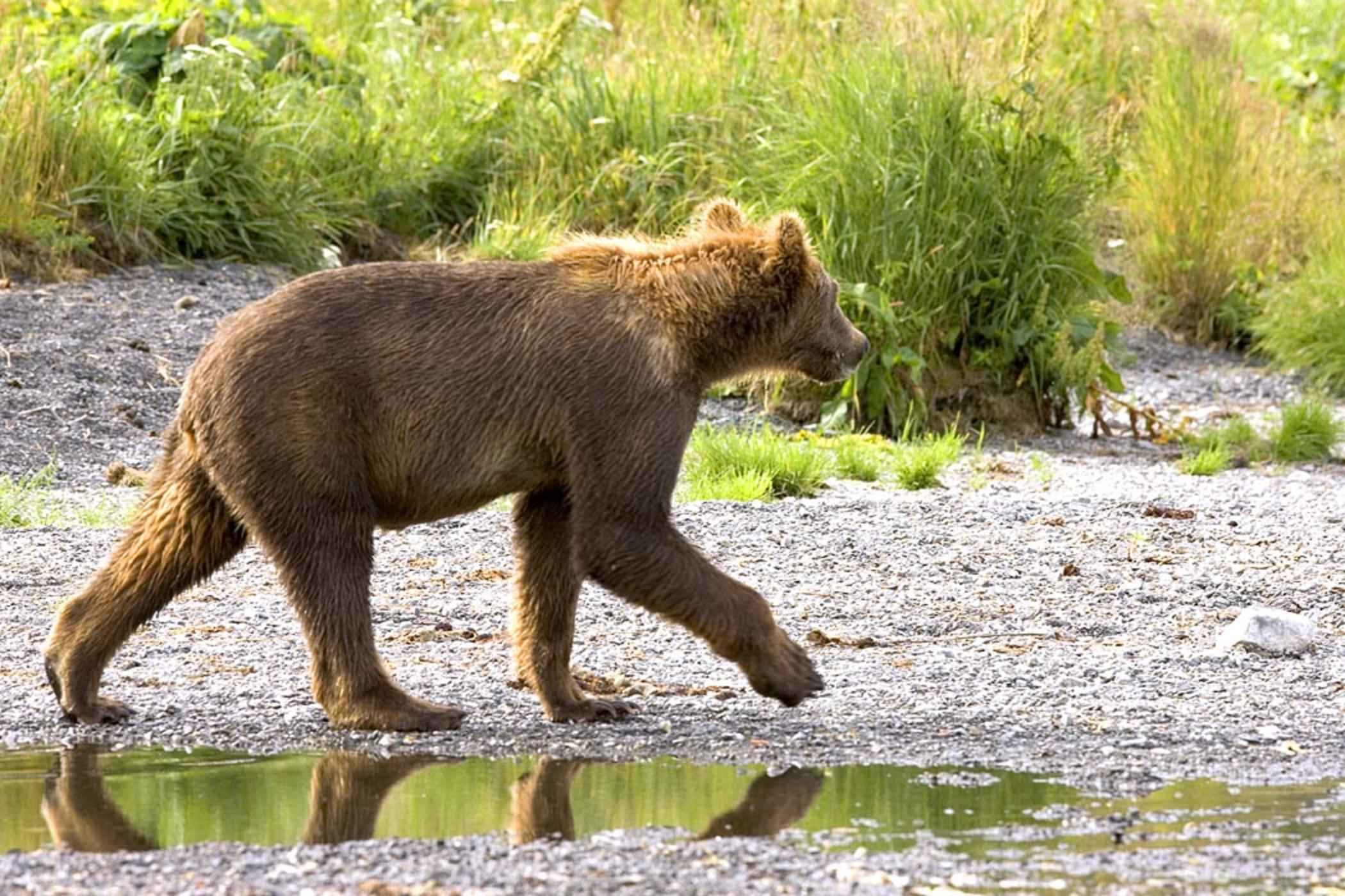 Grizzly bear walking - photo#4