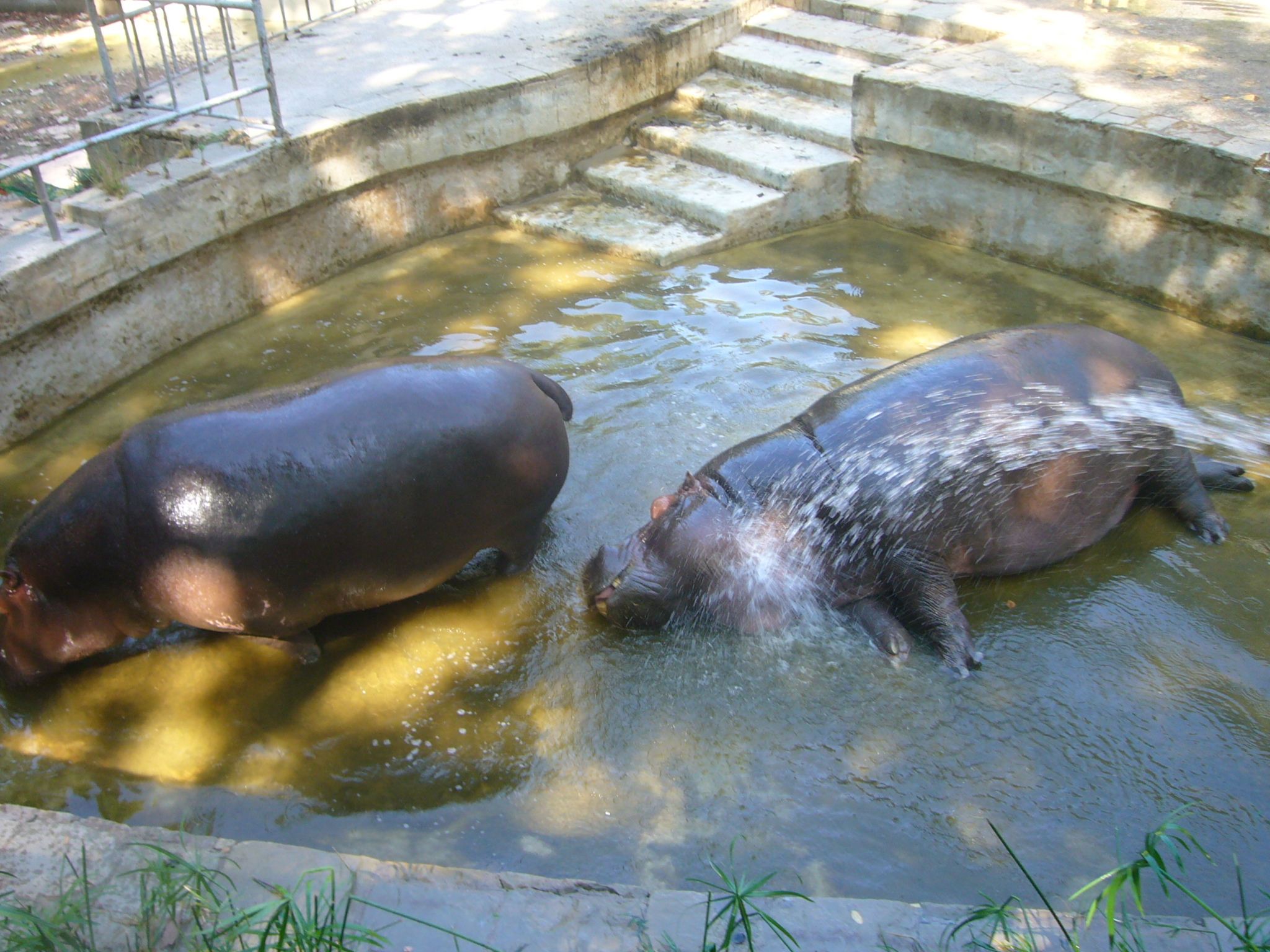 Zoo Barcelona file hippopotamus hibius zoo barcelona 2 jpg wikimedia commons