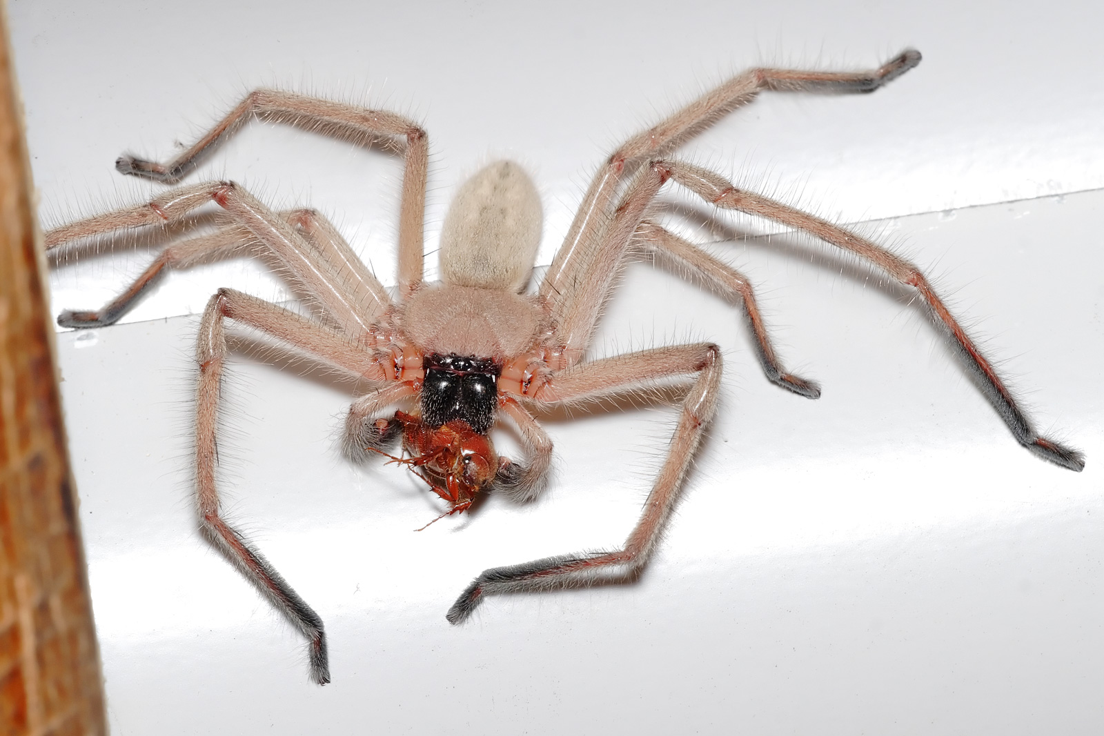 File:Huntsman spider with meal.jpg - Wikimedia Commons