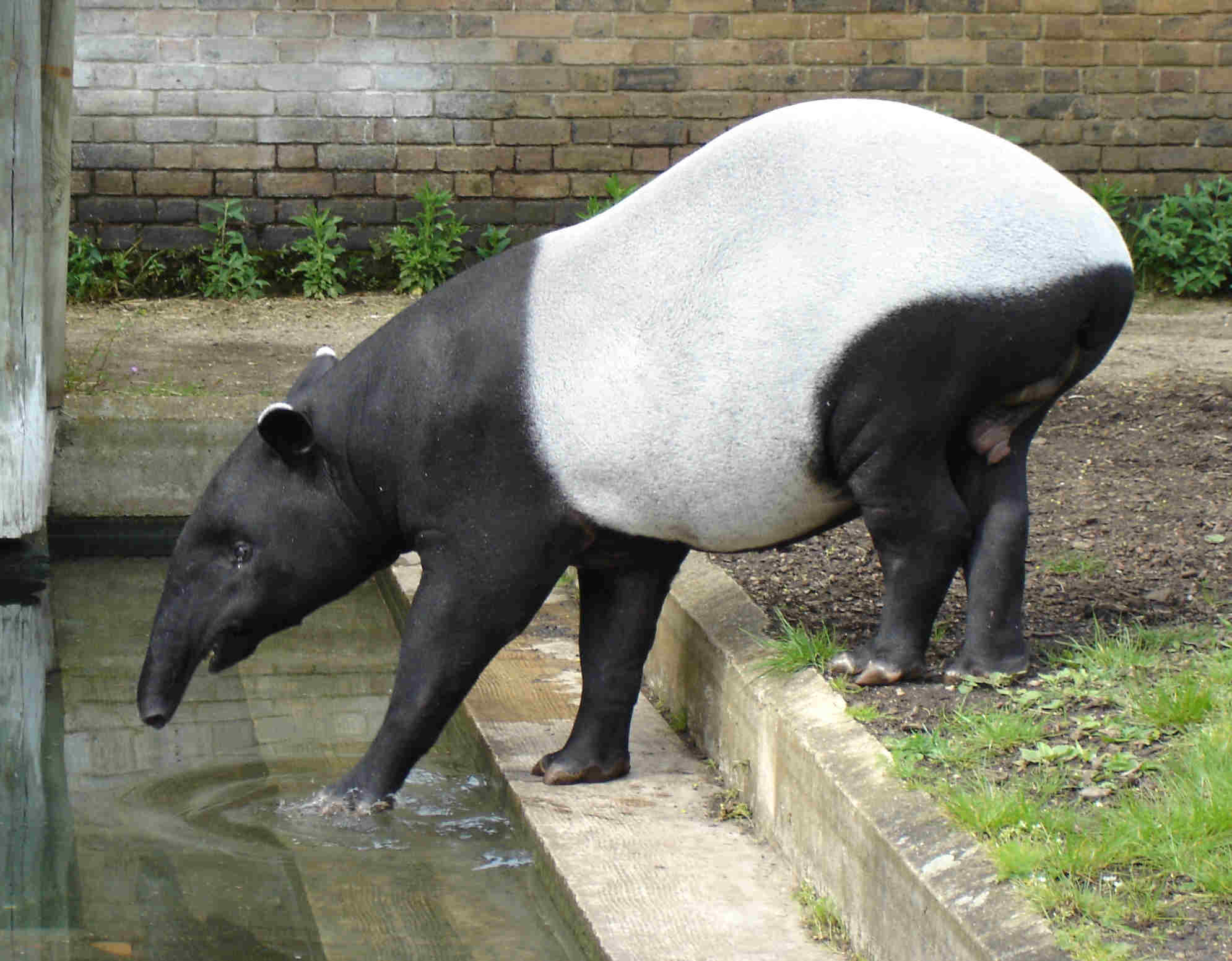 Binatang Tapir | image from wikipedia