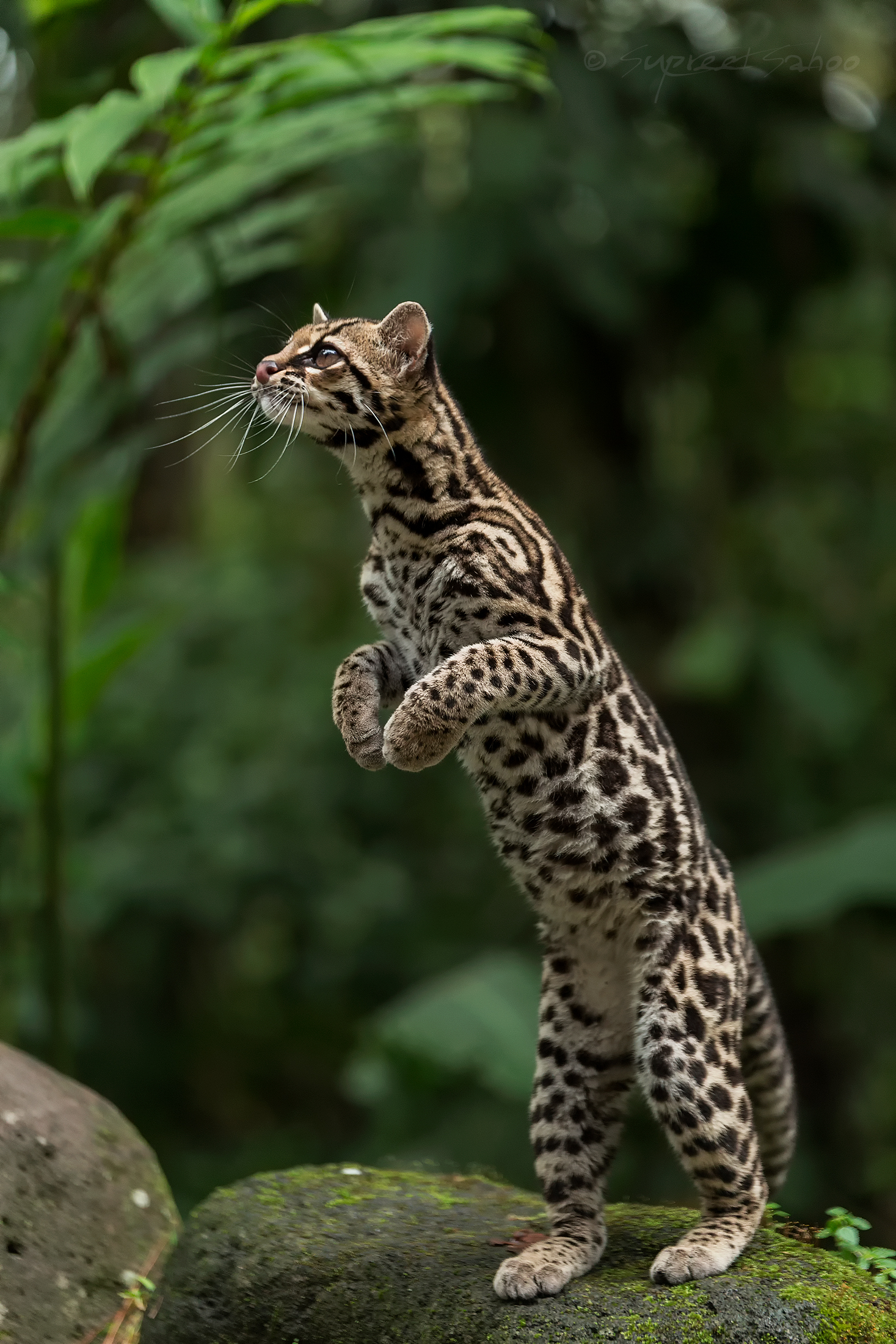 Margay_in_Costa_Rica.jpg