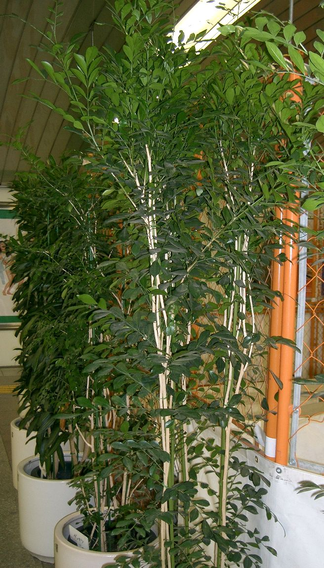 Murraya paniculata1.jpg