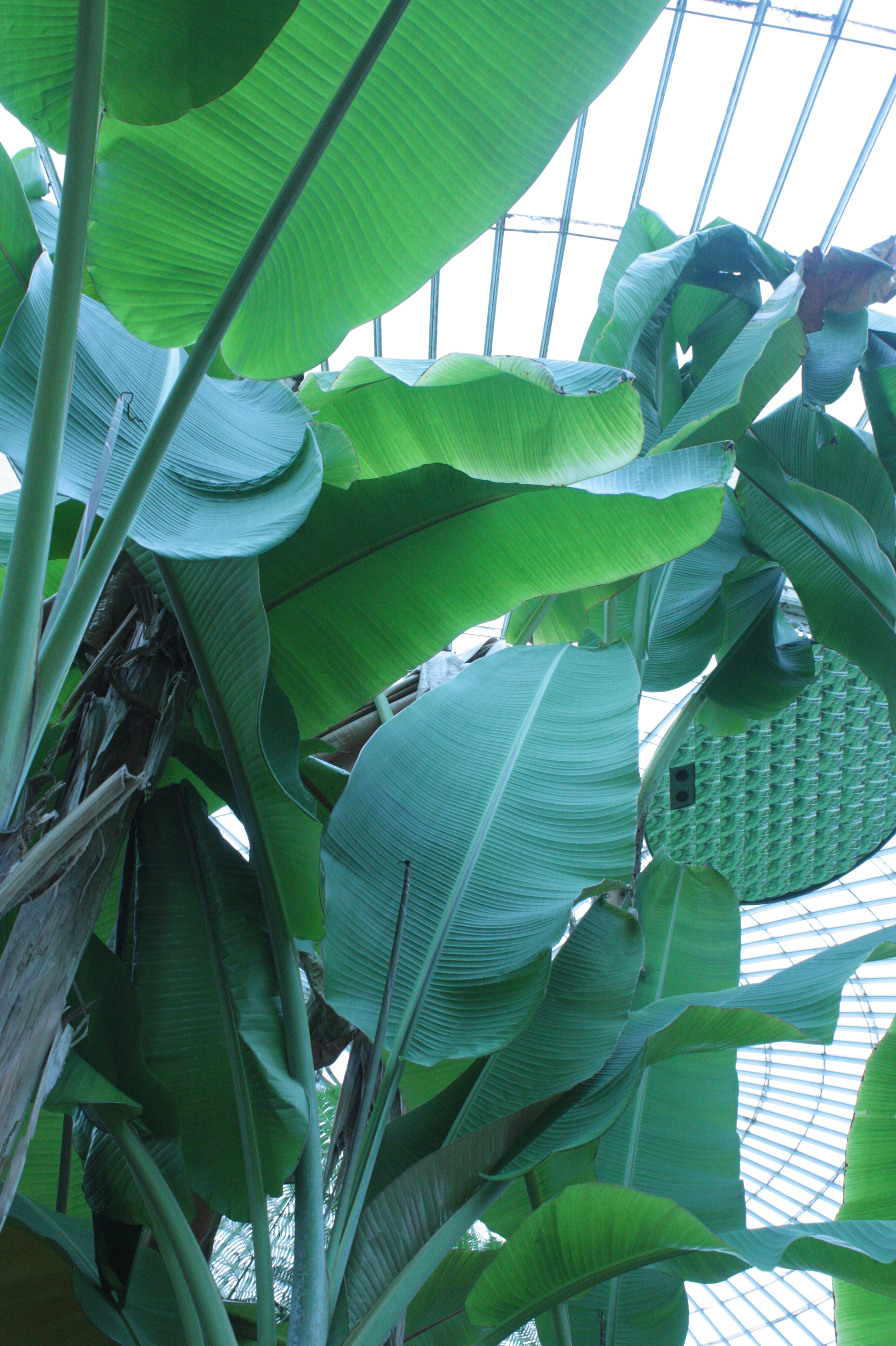 file musa basjoo glasgow botanic wikimedia commons. Black Bedroom Furniture Sets. Home Design Ideas