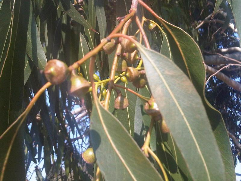 File:Myrtales - Eucalyptus dalrympleana 5.jpg