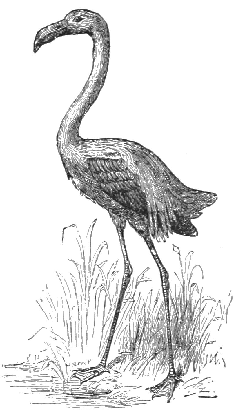 PSM V32 D699 The flamingo.jpg