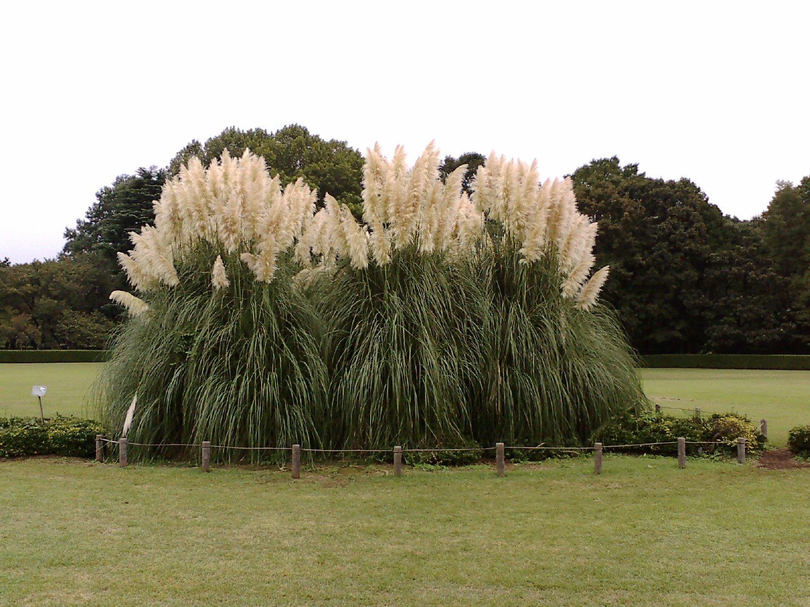 File pampas grass in jindai botanical garden for Erba della pampas riproduzione