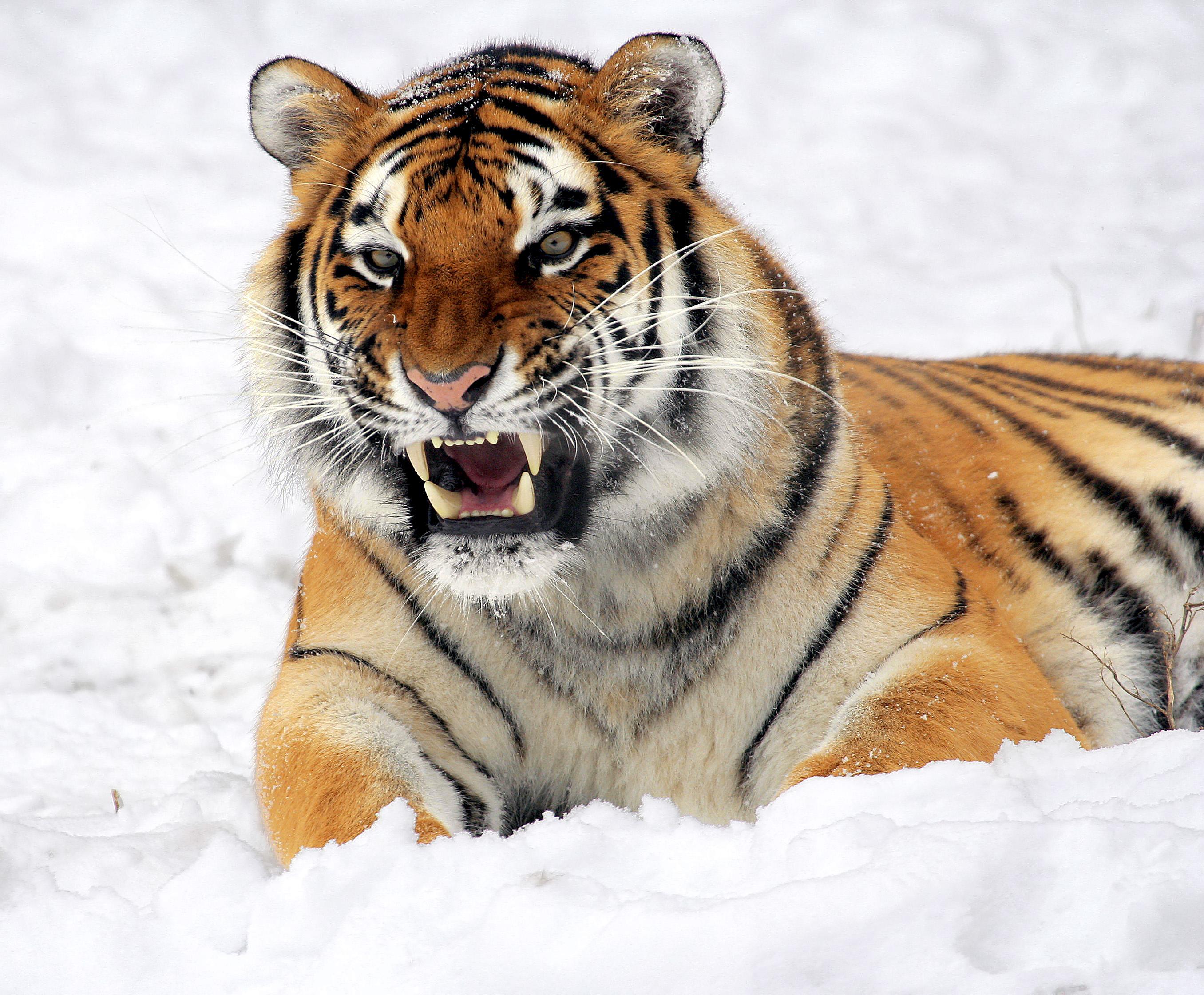 Тигр злится