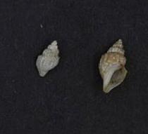 <i>Propebela assimilis</i> species of mollusc