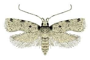 Depressariinae subfamily of insects