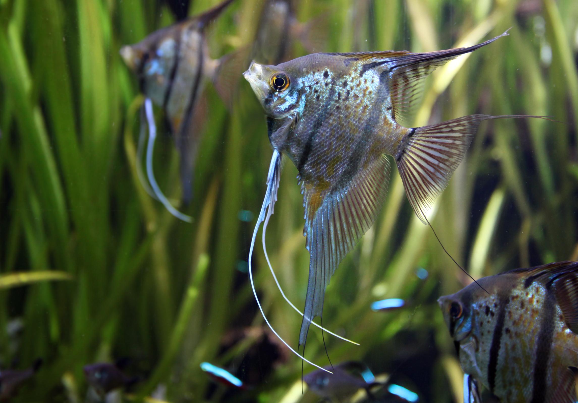 Pterophyllum scalare wikiwand for Poisson pour aquarium eau douce