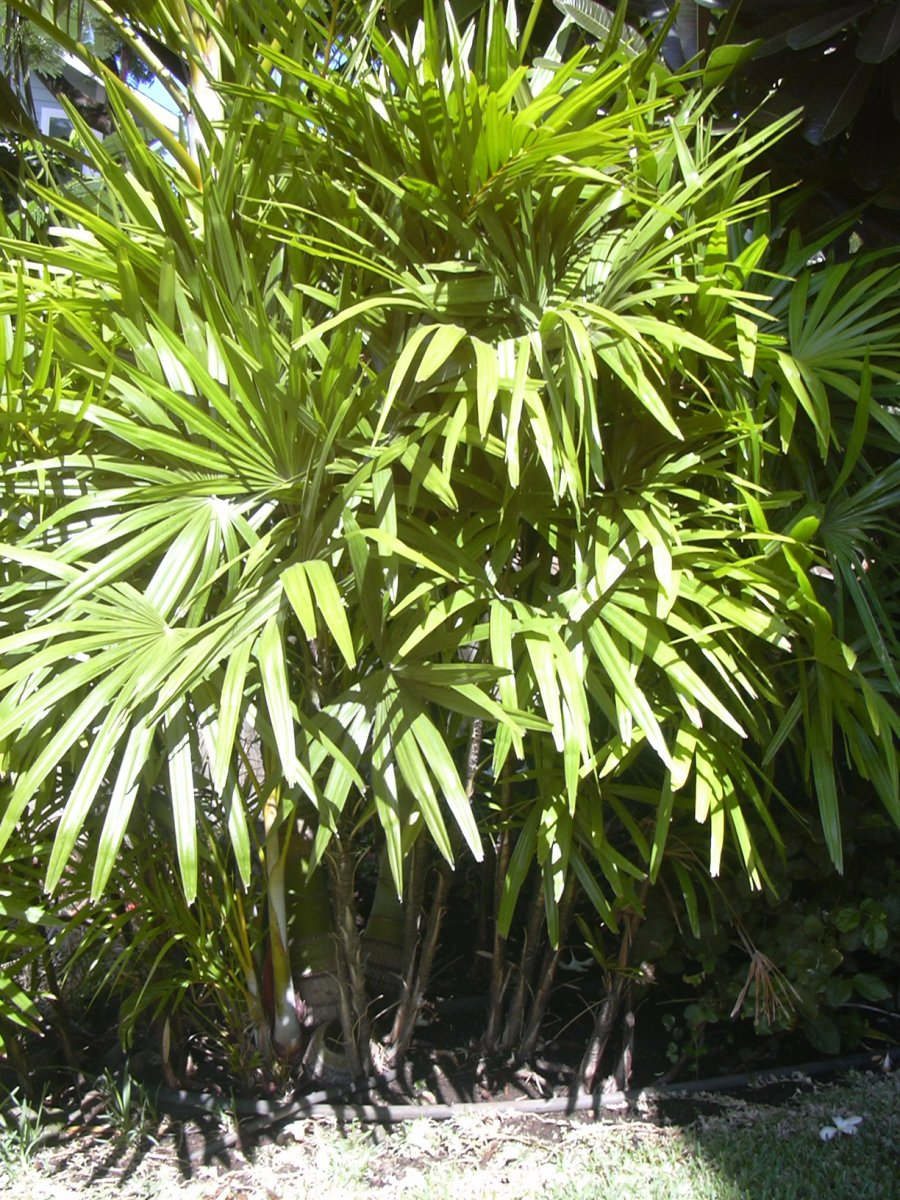 Rhapis excelsa pianta-01.jpg