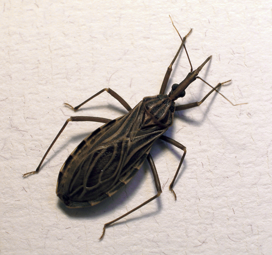 Vinchuca-enfermedad de Chagas