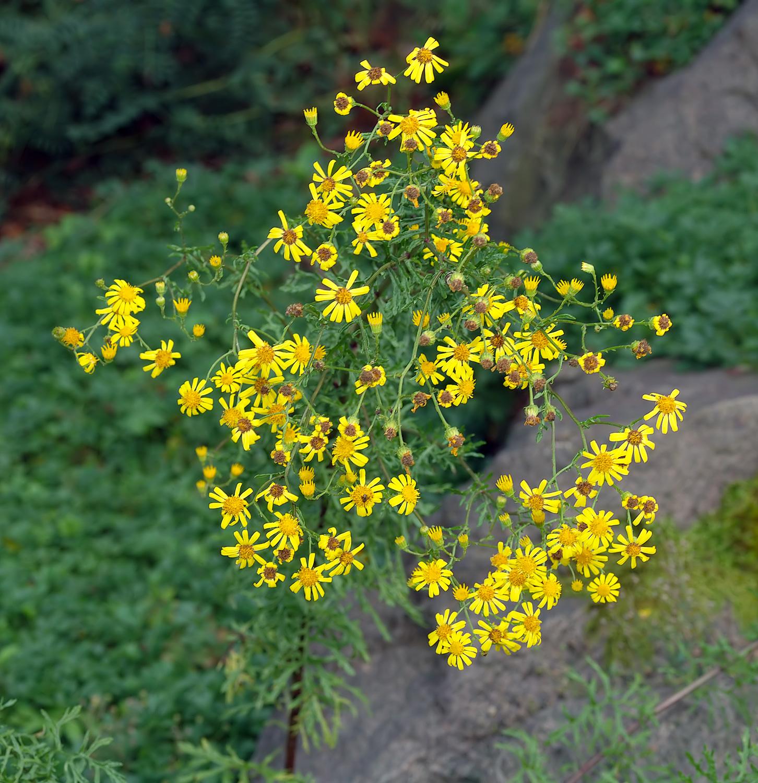 描述 senecio erucifolius - plant (aka)