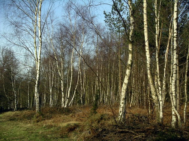 Silver Birches, Sherwood Pines - geograph.org.uk - 329785