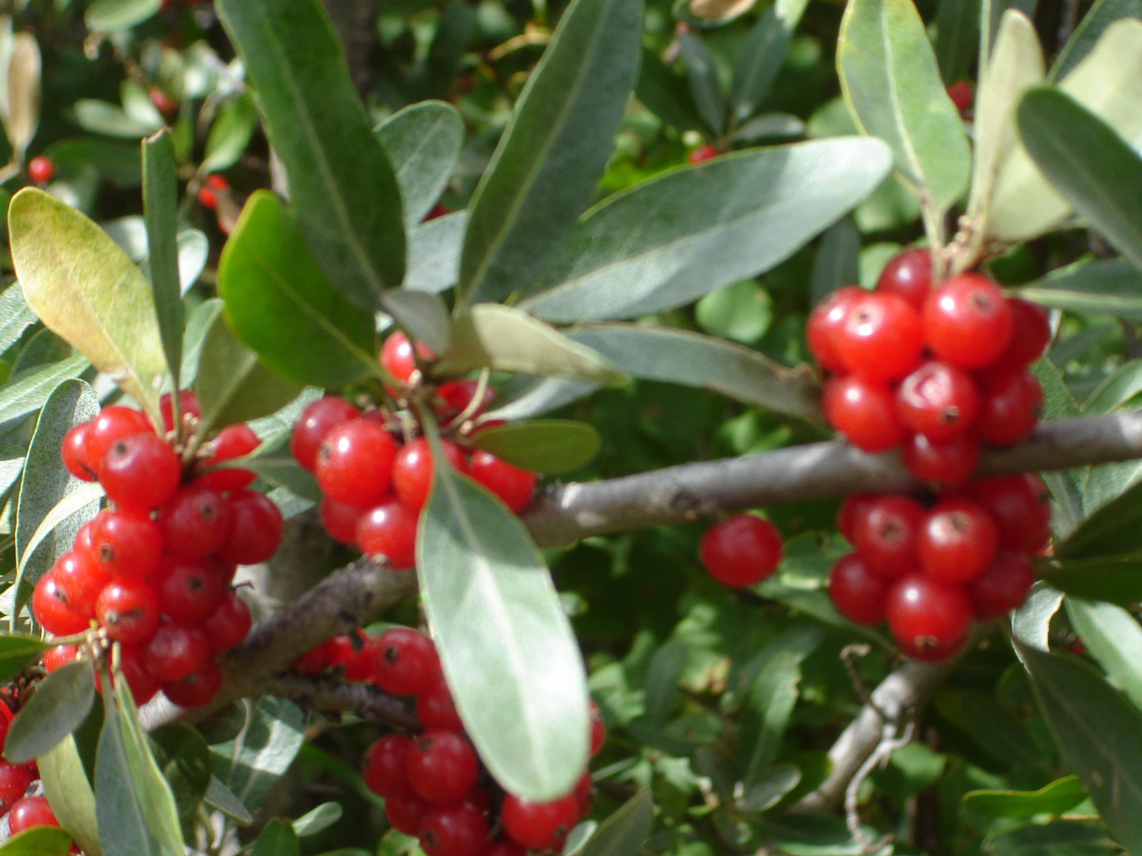 New Research On Buffaloberry Reveals Significant Source Of