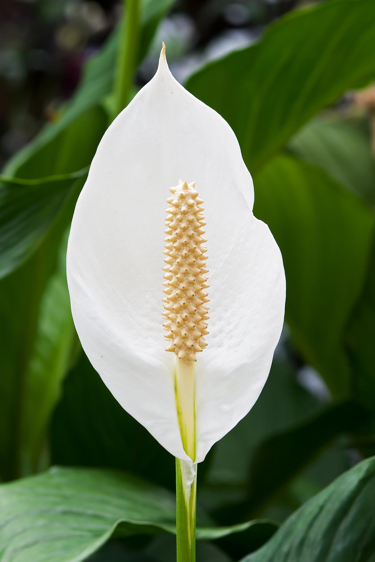 Spathiphyllum Wikipedia