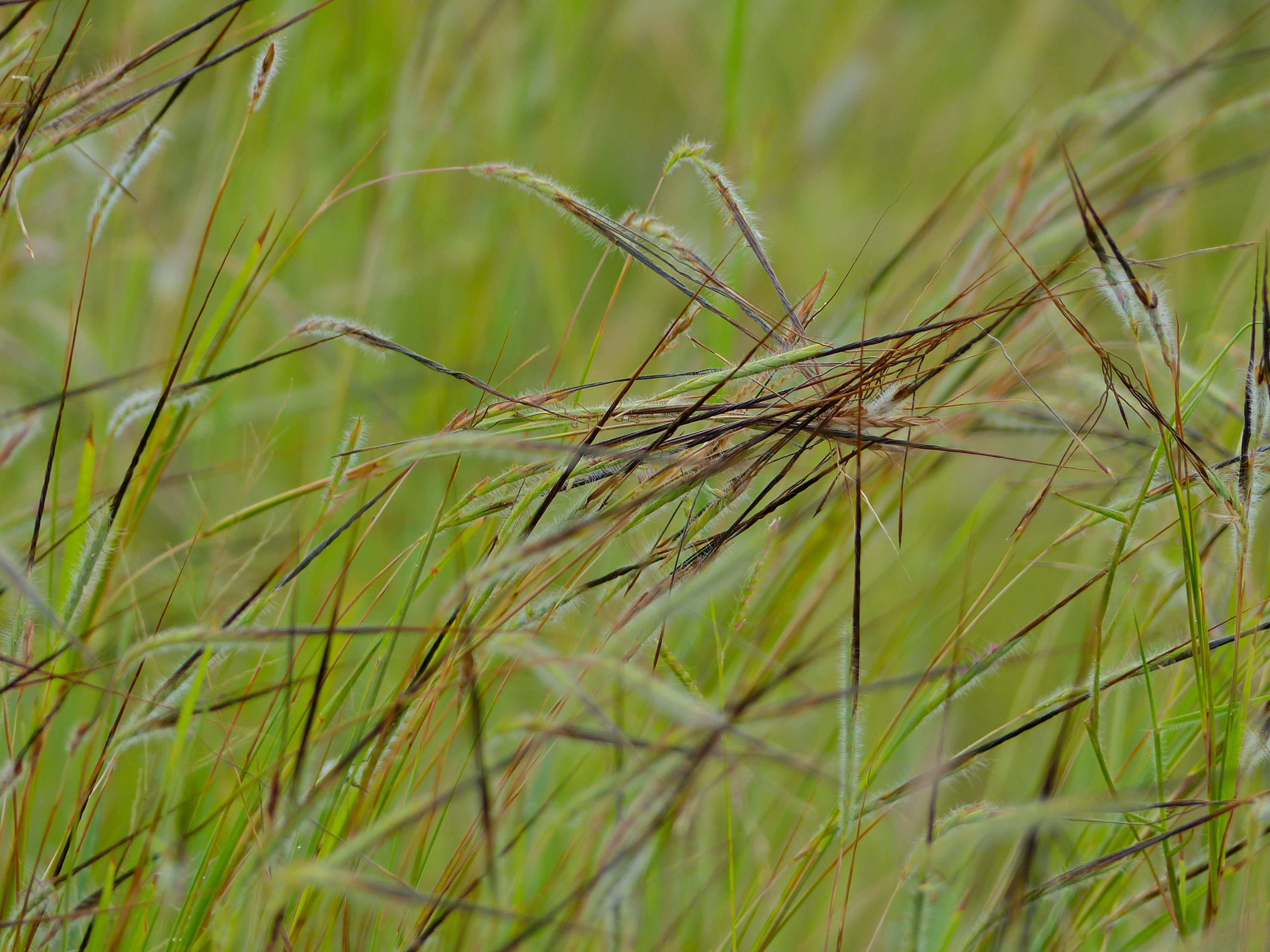 FileSpear Grass Heteropogon Contortus Intertwined Awns 12818793383