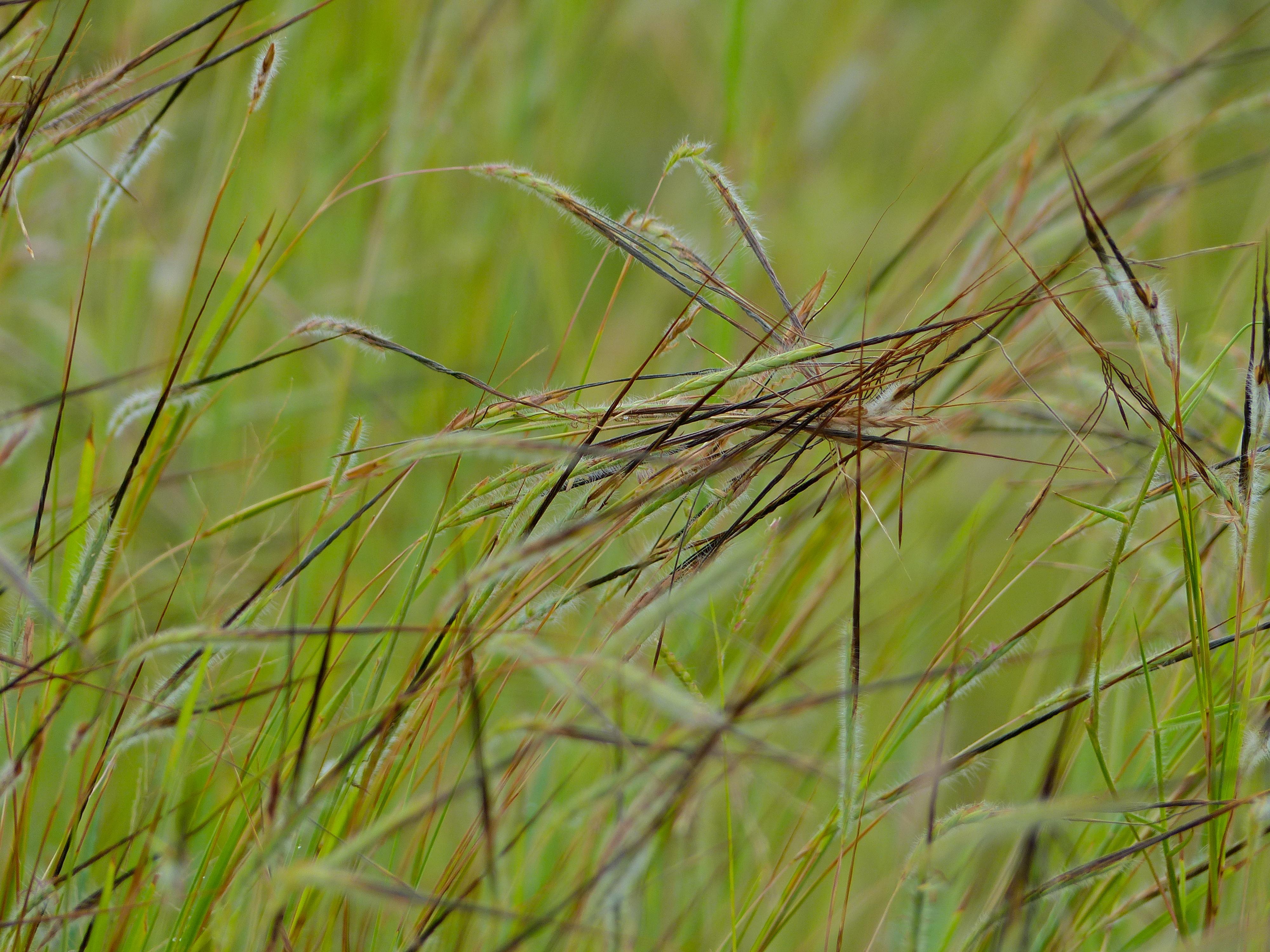 file spear grass  heteropogon contortus  intertwined awns  12818793383  jpg