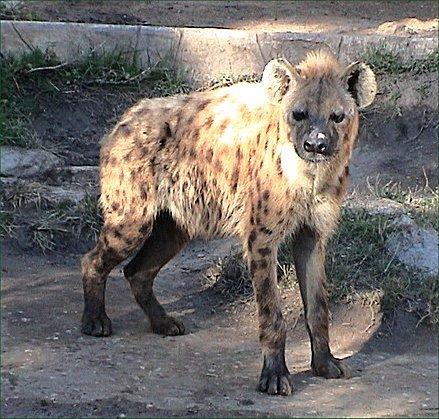 Soubor:Spotted hyena2.jpg